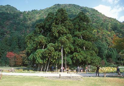 御仏供杉3