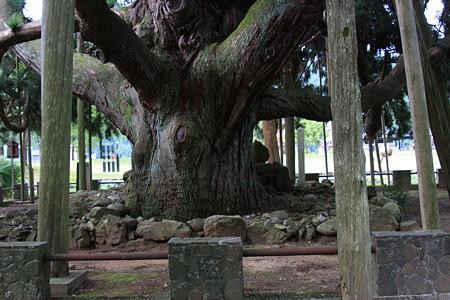 御仏供杉1