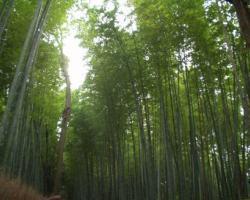 京都紅葉散策嵐山竹林