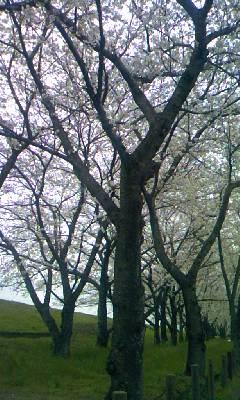 大分川の桜並木