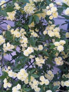 黄色モッコウ薔薇