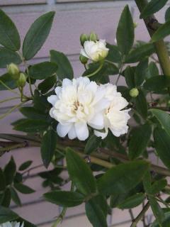 白モッコウ薔薇