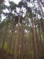 杉の木だらけ