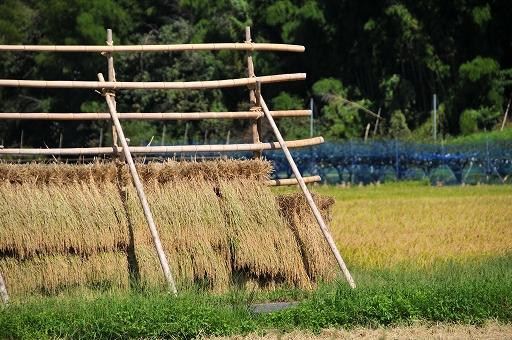 刈ったばかりの稲が干してある