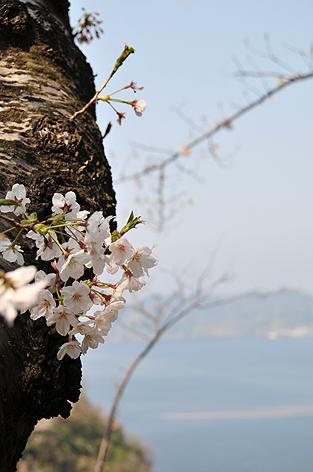 スカスカ桜 その3