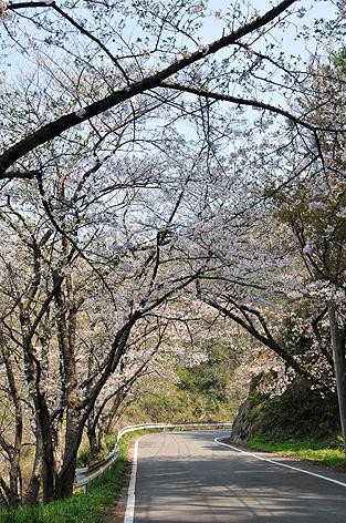 スカスカ桜 その2
