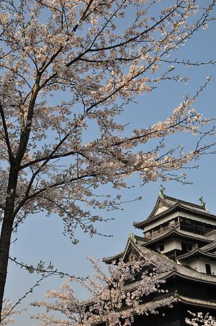 桜と松江城