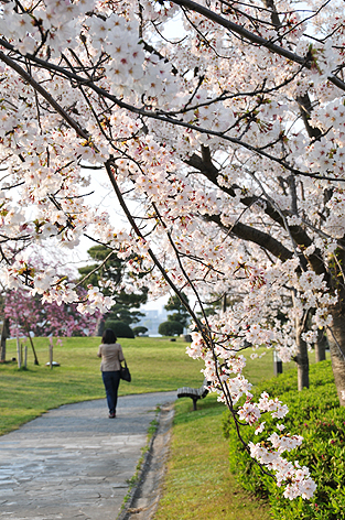 湖畔の桜道