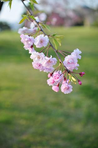 これも桜だよね