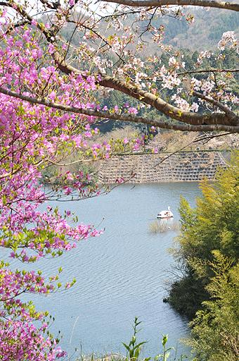 緑水湖スカスカ桜