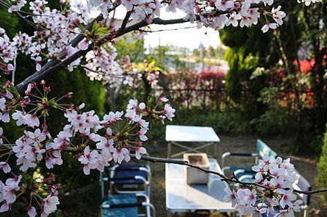 桜が散らないうちに