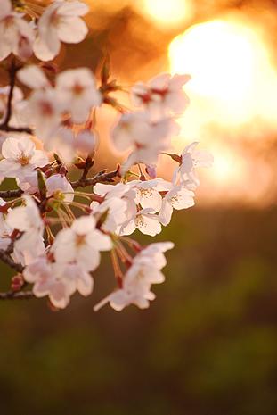 桜まつりにて