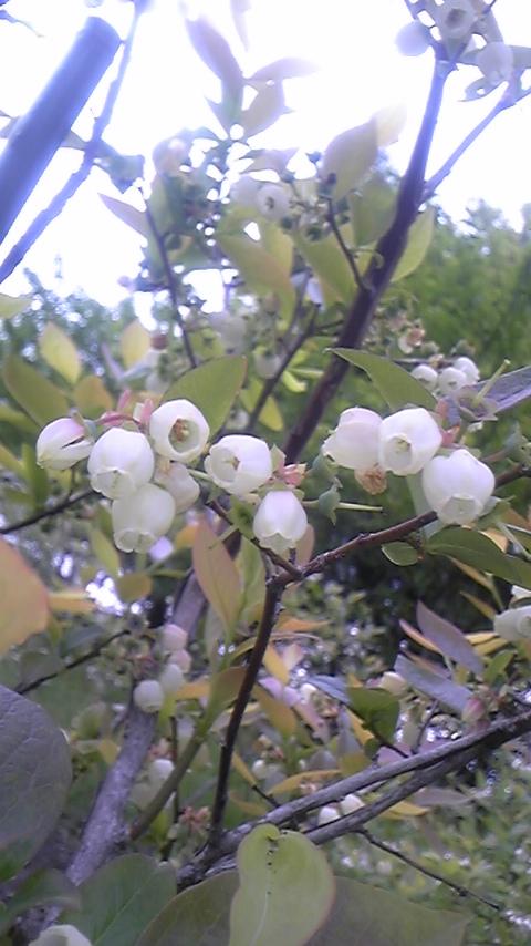 ブルーベリーの花3