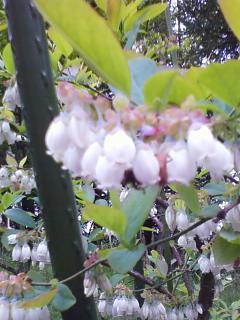 ブルーベリーの花4
