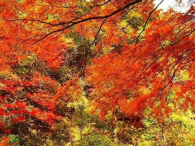 紅葉。11