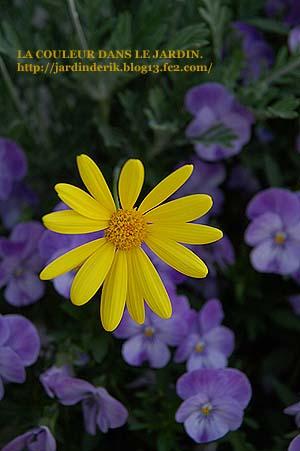 黄色マーガレット61