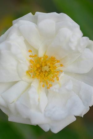 白バラ41.jpg