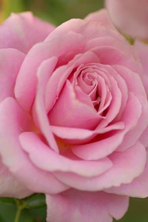 ピンクのバラ61.jpg