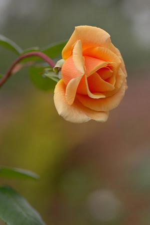 黄バラ60.jpg