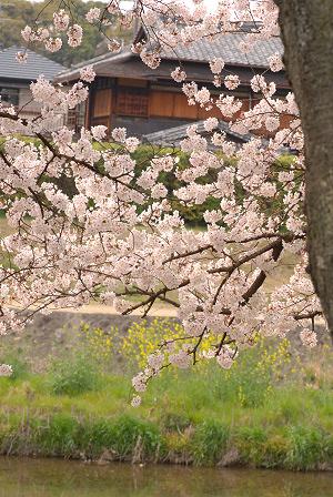 桜44.jpg