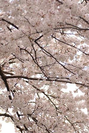 桜45.jpg