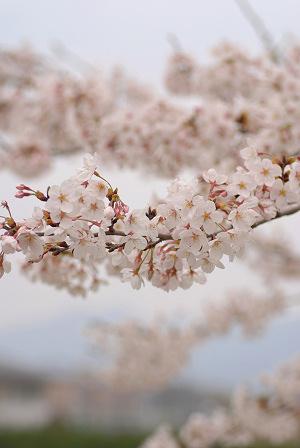 桜51.jpg