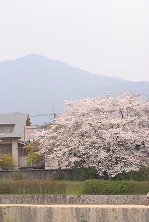 桜52.jpg