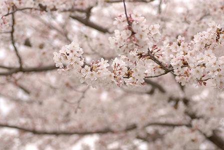 桜53.jpg