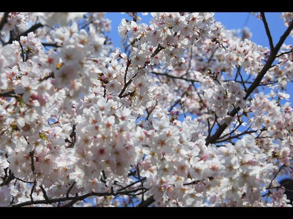 sakura_convert_20090406220707[1]