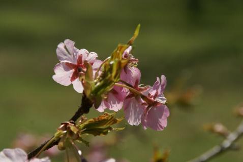 DSC06427桜 6