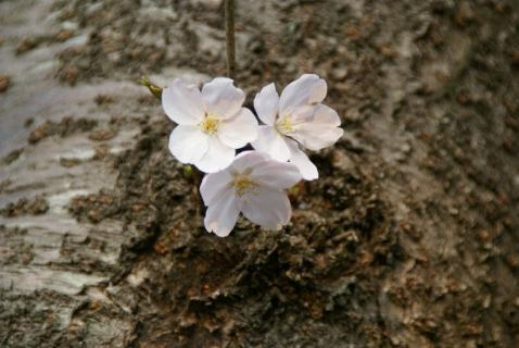DSC06915桜2