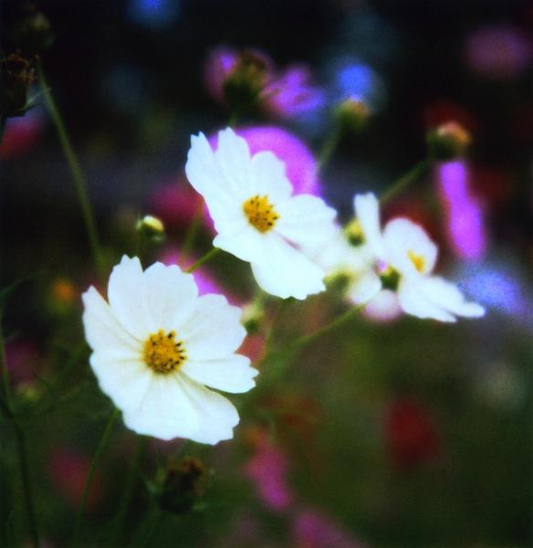 時を待ち、そして、輝きに満ちて咲き誇る・・・