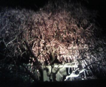 夜桜 ライトアップ