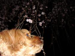 バースデー夜桜