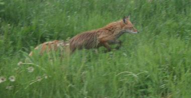 IMG_fox1.jpg