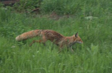 IMG_fox2.jpg