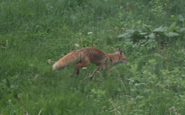 IMG_fox3.jpg