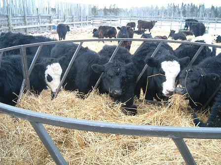 calves112420081