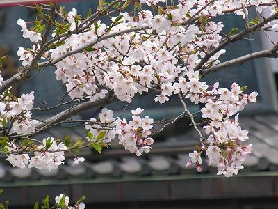 段葛の桜20090404