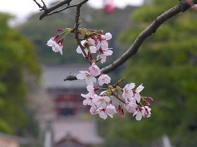 八幡前の桜20090404