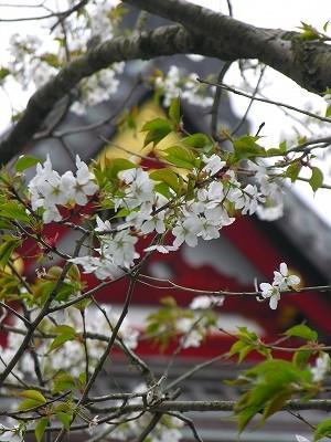 鶴岡本殿の桜20090404