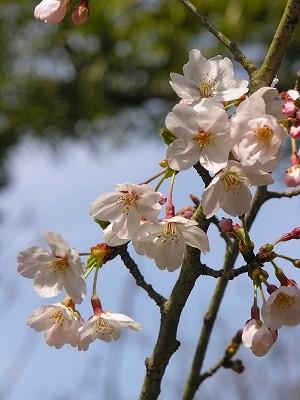 静桜20090404