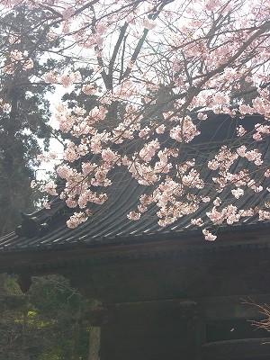 妙本寺二天門と桜1-20090404