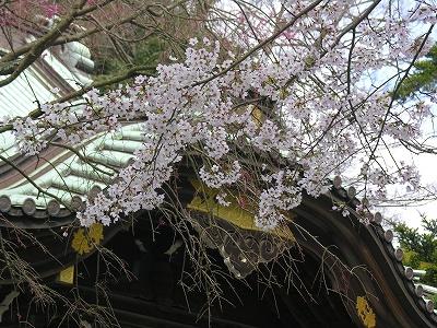 妙本寺本堂と桜20090404