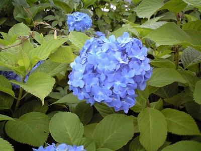 紫陽花20090606