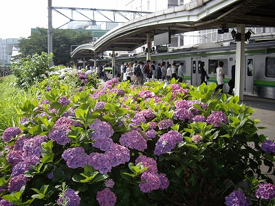 相模原駅の紫陽花20090619