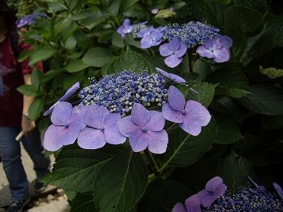 明月院額紫陽花1-20090619