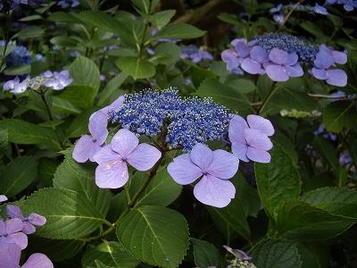 明月院額紫陽花2-20090619