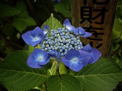 明月院額紫陽花3-20090619