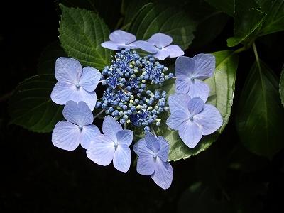 明月院額紫陽花4-20090619